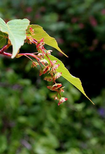 Acer davidii - érable de David, érable serpentine  699