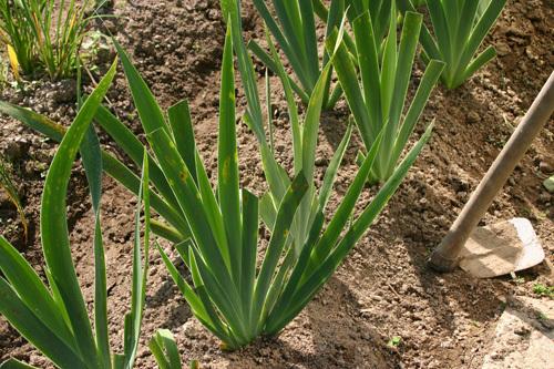 semis d'Iris 6_29ao10