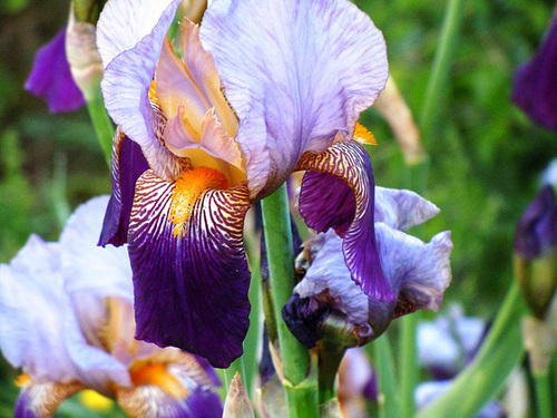 Iris 'Alcazar' - Vilmorin 1910 6_abei12