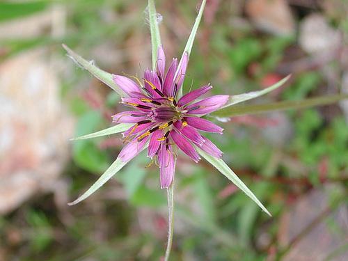 Tragopogon pratensis - salsifis des prés  6_cuga10