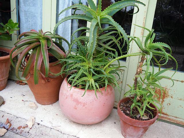Aloe arborescens 6abe10
