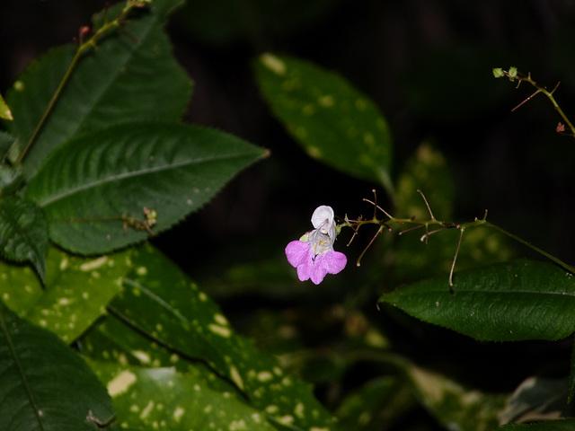 Impatiens glandulifera - balsamine de l'Himalaya  6abei10