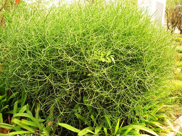Euphorbia tirucalli 6abeil12