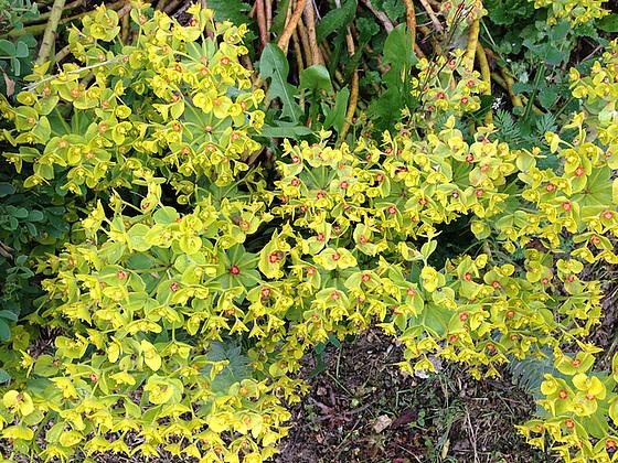 Euphorbia rigida - euphorbe rigide 6abeil13