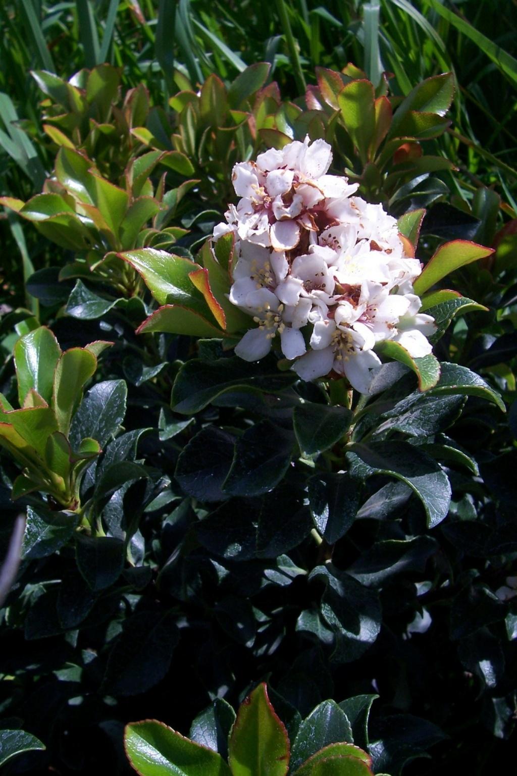 Rhaphiolepis x delacourii 'Springtime' 6aqua10