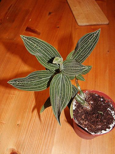 Ludisia discolor - orchidée terrestre, orchidée-bijou 6cug_j10