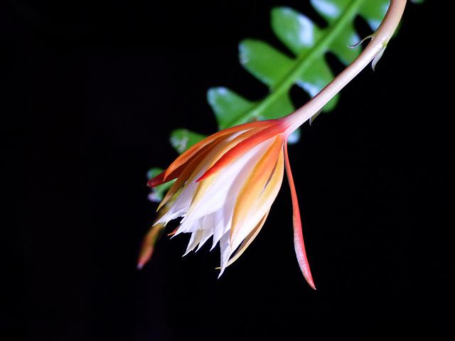 Epiphyllum anguliger 6dheev10
