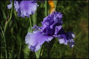 Iris 'Blue Crusader' - Schreiner 1998 6honky10