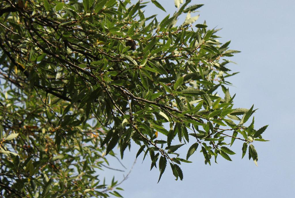 Quercus libani - chêne du Liban 6neir12