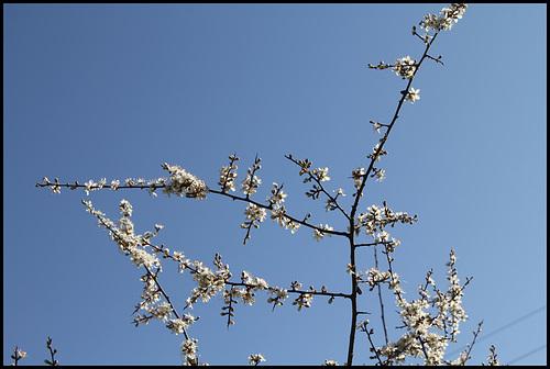 Prunus spinosa - prunellier, épine noire 6neir15