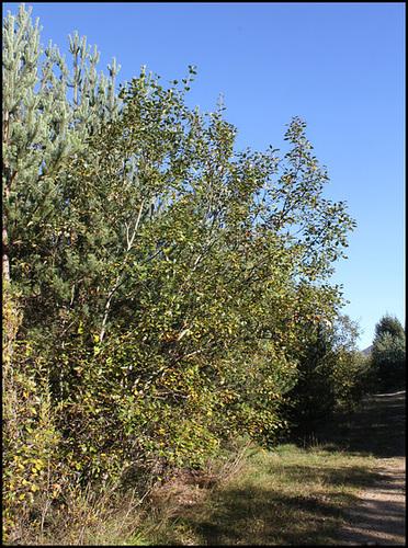 Salix caprea - saule marsault, saule des chèvres 6neir17