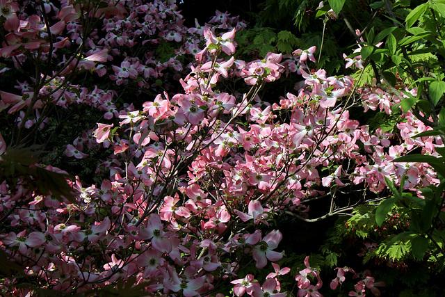 Cornus florida - cornouiller à fleurs  6neir18
