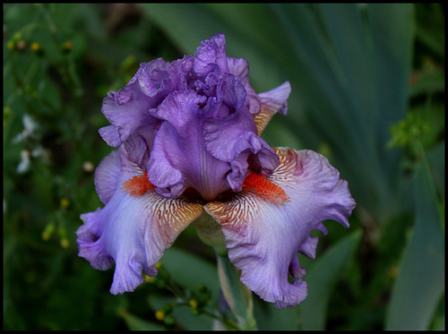 Floraison de nos iris barbus saison 2014 - Page 5 6neir21