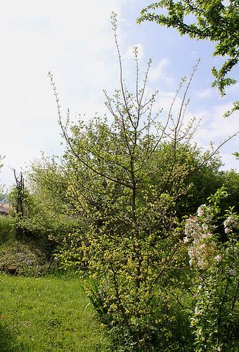 Acer campestre - érable champêtre 6neir_10