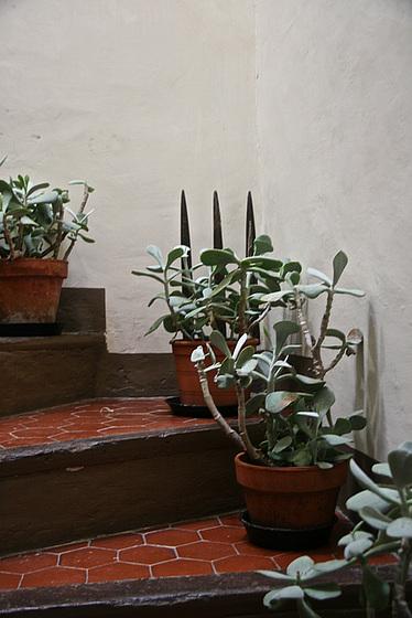 Cotyledon orbiculata 6pam10