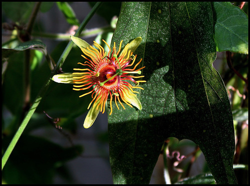 Passiflora 'Sunburst' 7-21_j11