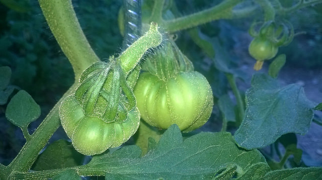 Solanum lycopersicum - les tomates - Page 5 7-dave10