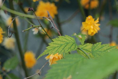 Kerria japonica - corète du Japon 7-davi10