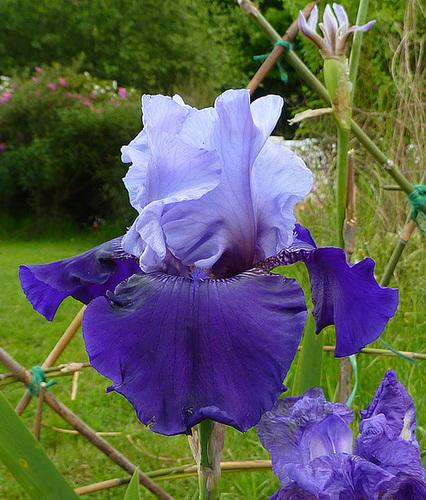 Floraisons de nos Iris barbus 2013 - Page 4 7-dhee10