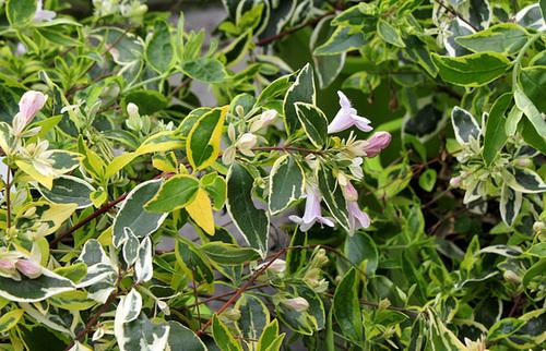 Abelia x grandiflora 7-hop10