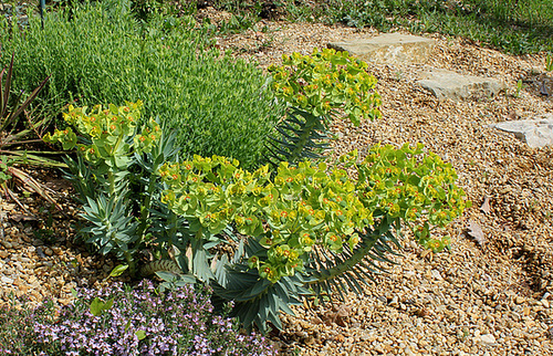 Euphorbia rigida - euphorbe rigide 7-neir10