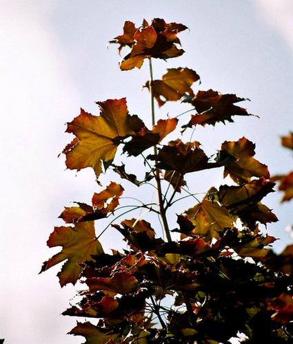 Acer platanoides - érable plane  7-neir13