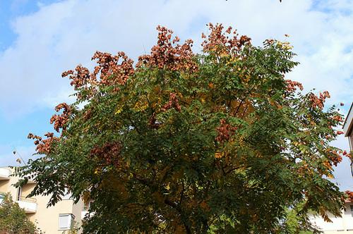 *koelreu* - Koelreuteria paniculata - savonnier 7-neir16