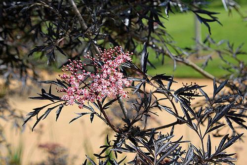 Sambucus nigra et cultivars - sureau noir 7103