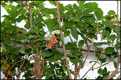 Iochroma australe (= Acnistus australis) 7104