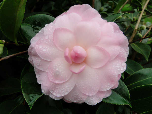 Camellia - choix & conseils de culture 7114