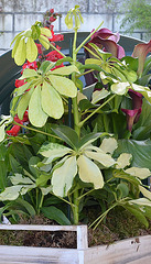 Spathiphyllum, Penstemon, Schefflera, Scindapsus pictus, Calla sp. [id. non terminée] 7116