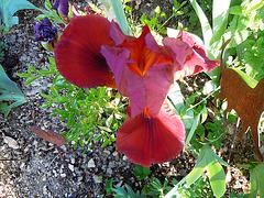 Floraisons de nos Iris barbus 2013 - Page 6 7118