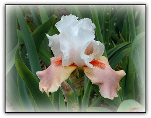 Floraisons de nos Iris barbus 2013 - Page 8 7119