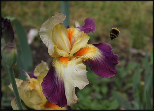 Anomalies chez les iris barbus - pélorisme et chimères 7120