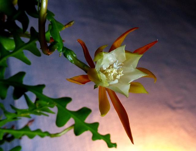 Epiphyllum anguliger 718