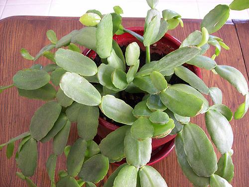 Hatiora rosea (= Rhipsalidopsis) - cactus de Pâques  719