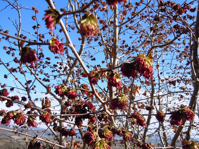 Parrotia persica - arbre de fer 739