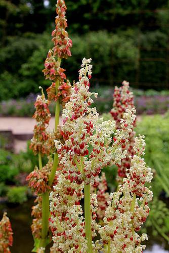 Rheum - rhubarbes ornementales  774