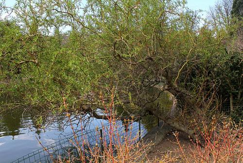 Salix - groupe babylonica et matsudana - saules pleureurs et tortueux  782