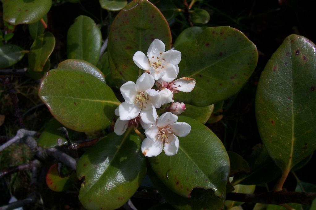 Rhaphiolepis x delacourii 'Springtime' 783