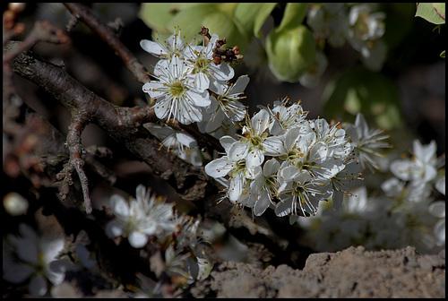 Prunus spinosa - prunellier, épine noire 784