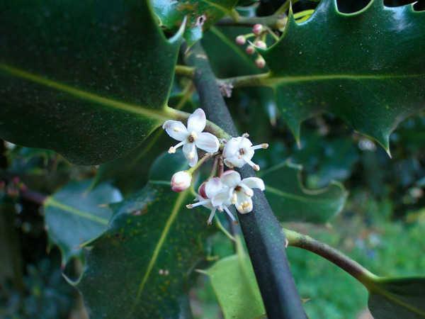 Ilex 'Castaneifolia' - houx à feuille de châtaignier 786