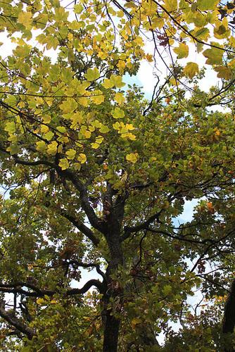 Quercus pedonculatus - chêne pédonculé 789