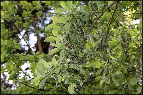 Salix caprea - saule marsault, saule des chèvres 791