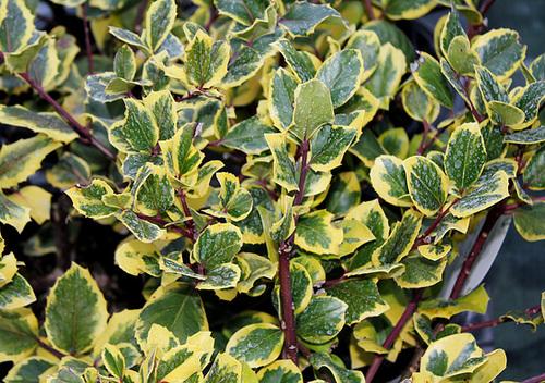 Ilex aquifolium - houx commun  793