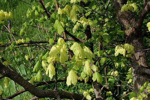 Acer campestre - érable champêtre 794