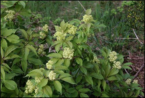 Sambucus racemosa - sureau rouge 797