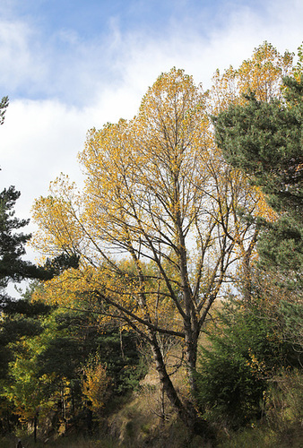 Populus nigra - peuplier noir - variétés, cultivars 798
