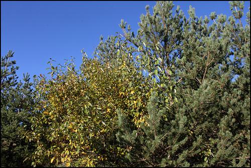 Salix caprea - saule marsault, saule des chèvres 7_12