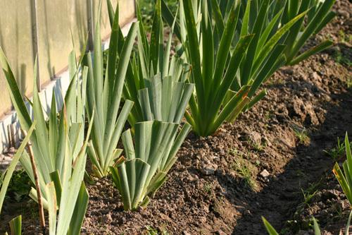 semis d'Iris 7_28se10